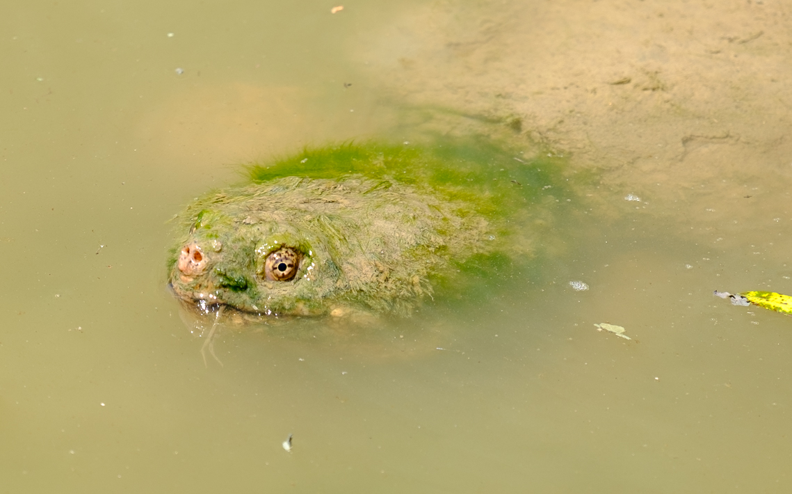 Snapping Turtle with a Green Hairdo