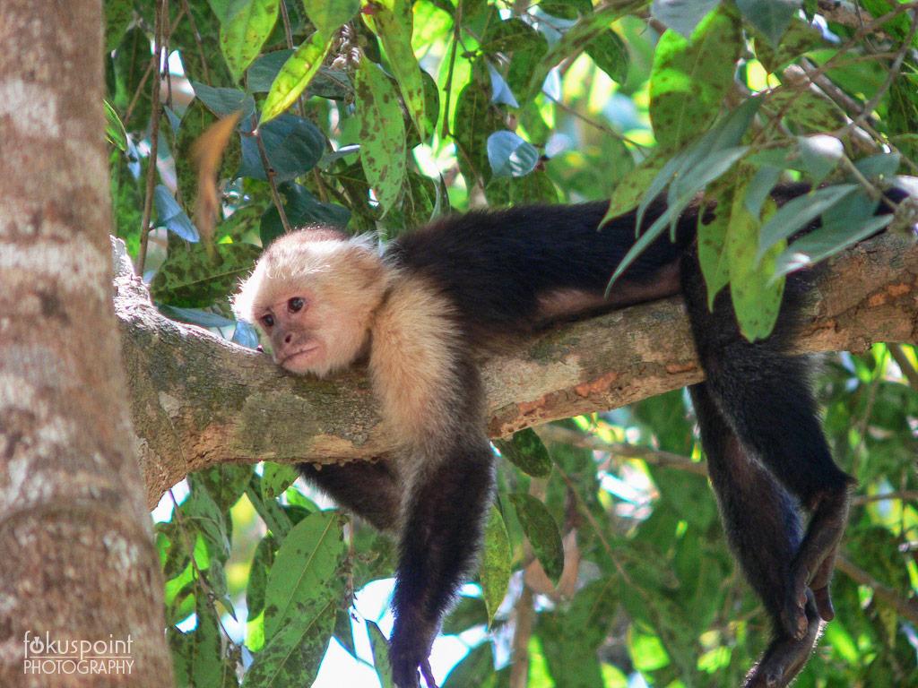White-headed Capuchin (Cebus capucinus) - Costa Rica