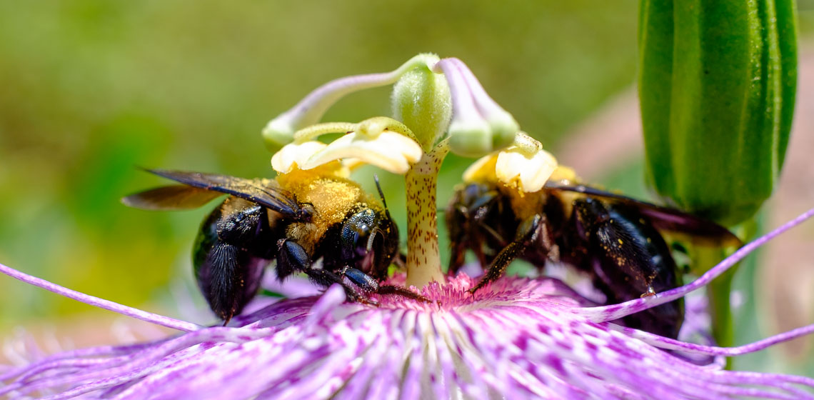 Two Carpenter Bees