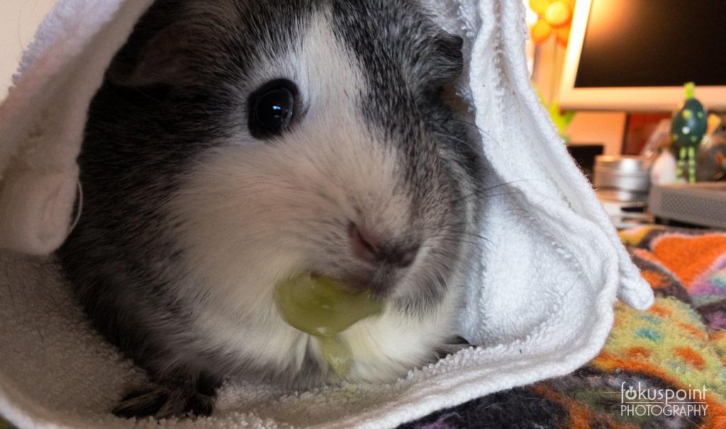 Storm (Guinea Pig)